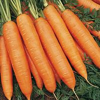БАНГОР F1 - семена моркови Берликум PR (1,6-1,8 мм), 1 000 000 семян, Bejo Zaden, фото 1
