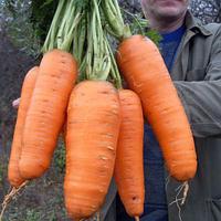 КАНТЕРБЮРИ F1 - семена моркови Шантане (1,6-1,8 мм) PR, 1 000 000 семян, Bejo Zaden, фото 1