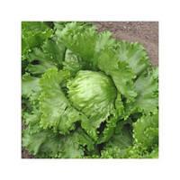 Семена салата Геркулес (Кутз) 1кг Moravoseed