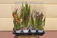 Орхидея камбрия на 2 цветоноса. опт и розница