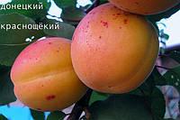 Саженец, саженцы плодовых деревьев абрикос, абрикосы: Донецкий краснощёкий