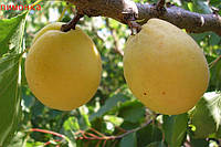 Саженец, саженцы плодовых деревьев абрикос, абрикосы: Лимонка