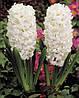 Луковичные растения Гиацинт Antarctica