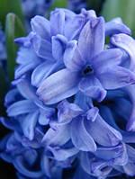 Луковичные растения Гиацинт Delft Blue  (20шт)