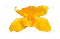 Орхидея Цимбидиум (желтый)