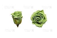 Роза Мини 12гол. (зеленый чай)