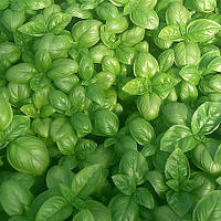 Семена базилика Дарк Грин 10 гр. Semo