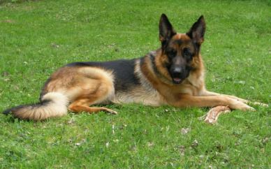Корм для собак средних пород Клуб 4 Лапы Premium Adult Medium Breeds