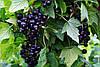 Смородина черная Селечинская (ранняя) 2х летний