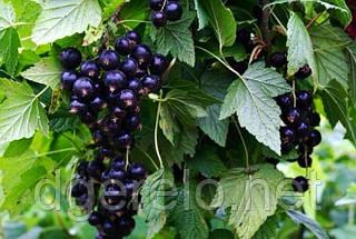 Смородина черная Селечинская (ранняя)