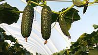 Семена огурца партенокарпического Баронет F1, NongWoo Bio (Корея), упаковка 500 семян, фото 1