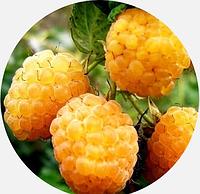 Саженцы малины желтой, Желтый гигант