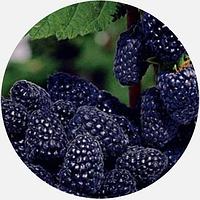 Саженцы малины Кумберленд черной