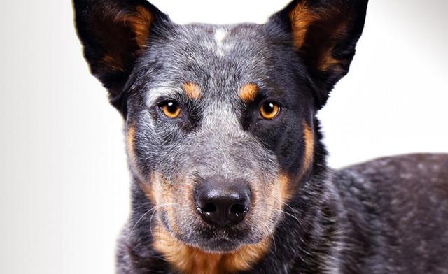 Ошейник от блох и клещей для собак Sentry Dual Action