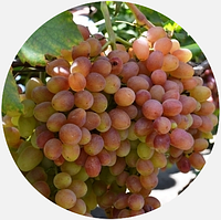 Саженцы винограда Велес, Кишмиш