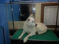 Вычесывание, купание собак крупных пород