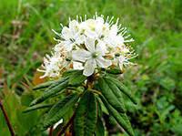 """Настойка """"Багульника""""-отхаркивающее и противолихорадочное средство при острых и хронических бронхитах."""