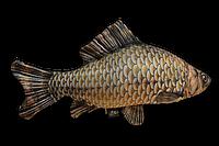 Антистрессовая подушка рыба карась 60*30см