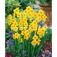 Луковичные растения Нарцисс миниатюрный Martinette