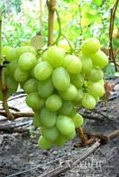 Саженцы винограда богатяновский