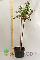 Роза - Rosa в ассортименте Pa (высота 100-120см)