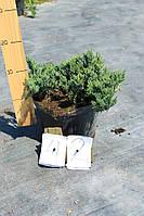 Можжевельник горизонтальный - Juniperus horizontalis Blue Chip (диаметр 50-60 см, горшок 7/5л)
