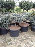 Ель колючая - Picea pungens Glauca Globosa (Pa 60-80см)