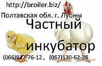 Бройлерные цыплята КОББ 500 суточные