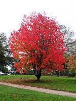 Acer rubrum Клен червоний