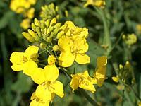 Технологии выращивания рапса (вирощування ріпака).