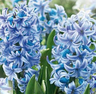 Луковичные растения Гиацинт Blue Giant, фото 1