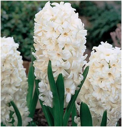 Луковичные растения Гиацинт Carnegie