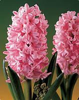 Луковичные растения Гиацинт Fondant  (20шт)