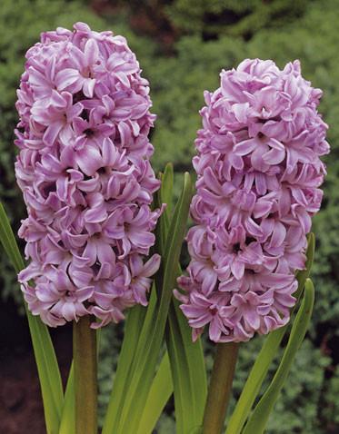 Цибулинні рослини Гіацинт Splendid Cornelia