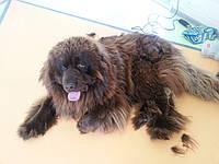 Стрижка, вычесывание, купание собак крупных пород