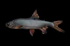 Антистрессовая мягкая рыба жерех 50*25 см