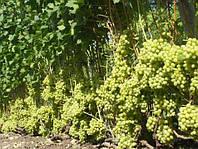 Саженцы винограда кишмиш столетие