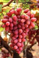 Саженцы винограда кишмиш кримсон сидлис