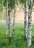 Фотообои   березовый лес у озера размер 183 х 254 см