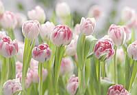 Фотообои бумажные на стену 368х254 см 8 листов: Цветы розовые тюльпаны. Komar 8-708