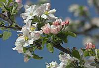 Фотообои бумажные на стену 368х254 см 8 листов: Цветение яблони. Komar 8-735