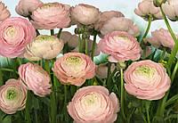 Фотообои бумажные на стену 368х254 см 8 листов: Розы нежные. Komar 8-894