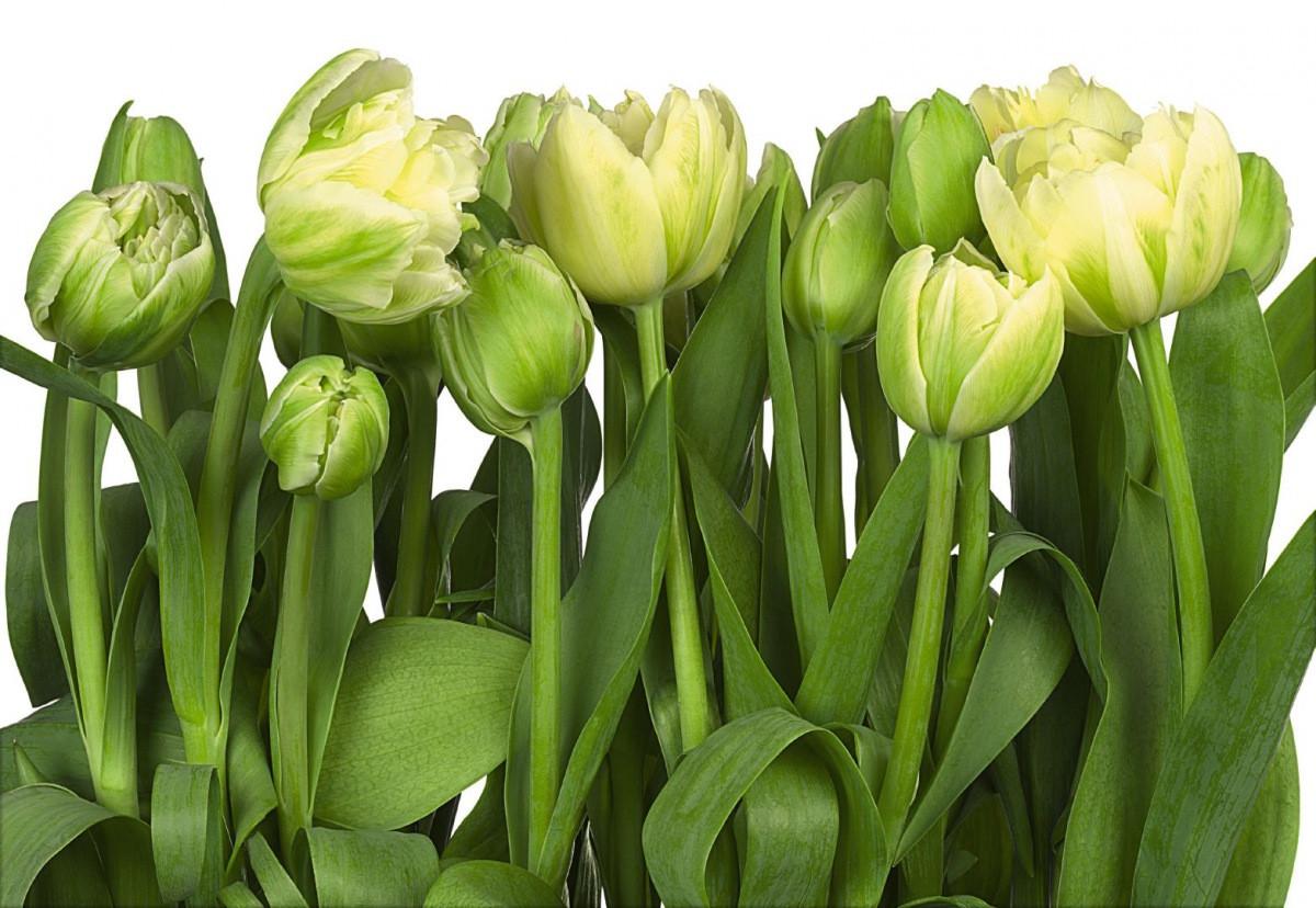 Фотообои тюльпаны зеленые на кухне