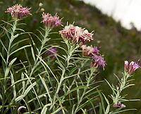 Соссюрея иволистая ( 100 грамм) трава
