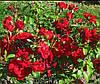 Плетистая роза Традишин 95. (в).