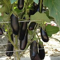 Семена баклажан Дестан F1 10 грамм Enza Zaden