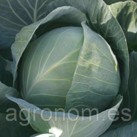 Семена капусты Структа  F1 2500 семян Takii Seeds