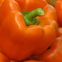 Семена перца Магно F1 500 семян Enza Zaden
