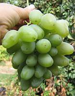 Саженцы винограда монарх