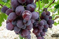Саженцы винограда нинель